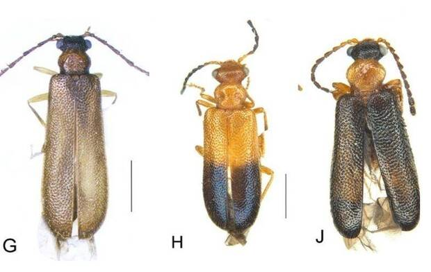 Beetles that are called as Pok