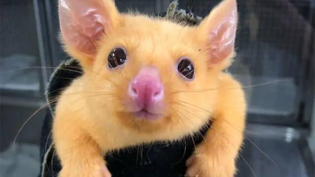 Rescatan una zarigüeya australiana y la llaman Pikachu por su coloración